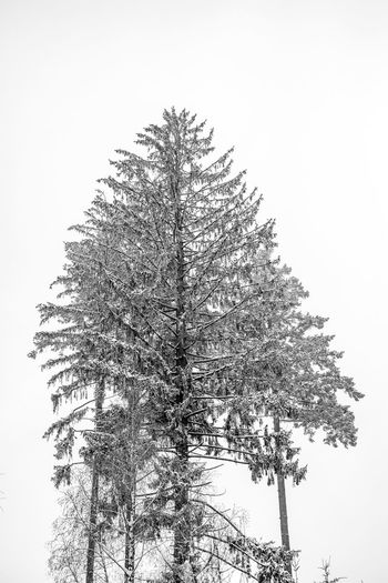 Low angle view of pine tree against clear sky