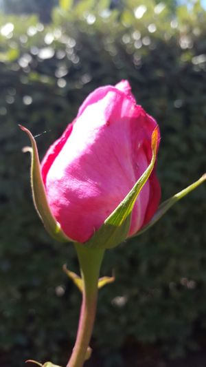 Rose Button Flower Pink Color Nature Petal Fragility Plant Outdoors Close-up Beauty In Nature No People Freshness Flower Head Focus On Foreground Sunny Day Freshness Rose🌹 Rose - Flower Rose Collection