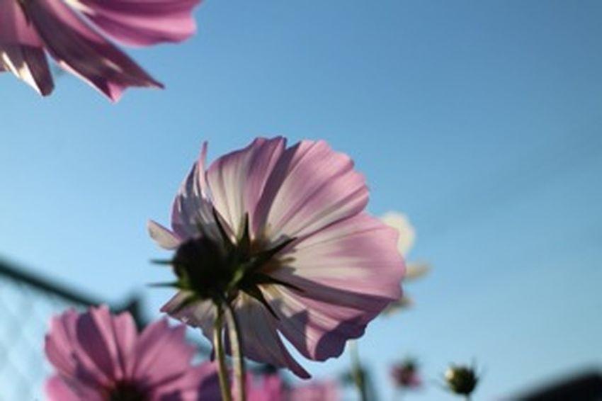 青空 秋桜 コスモス Relaxing Relaxing Flower 花 後ろ姿の美しさ