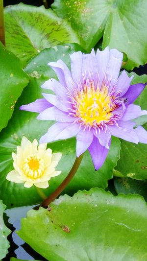 TakeoverMusic Flower Nature Fragility Beauty In Nature Freshness Flower Head Petal Water Lily Plant Leaf Water Growth Lotus Water Lily Blooming Pollen No People Outdoors Floating On Water Close-up Lily Pad