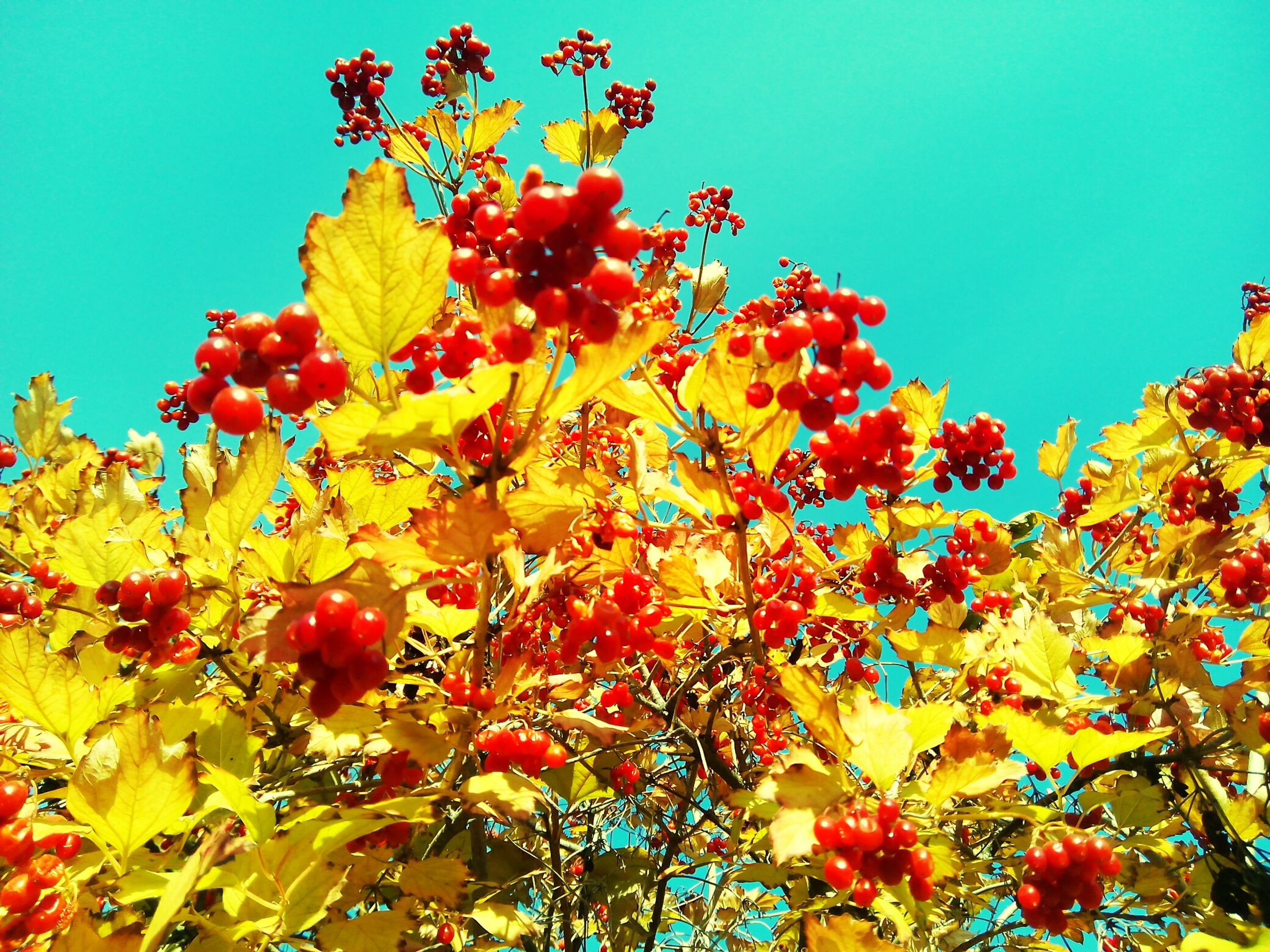 clear sky, low angle view, growth, blue, flower, freshness, red, beauty in nature, tree, nature, branch, fragility, sunlight, day, leaf, vibrant color, season, tranquility, sky, autumn