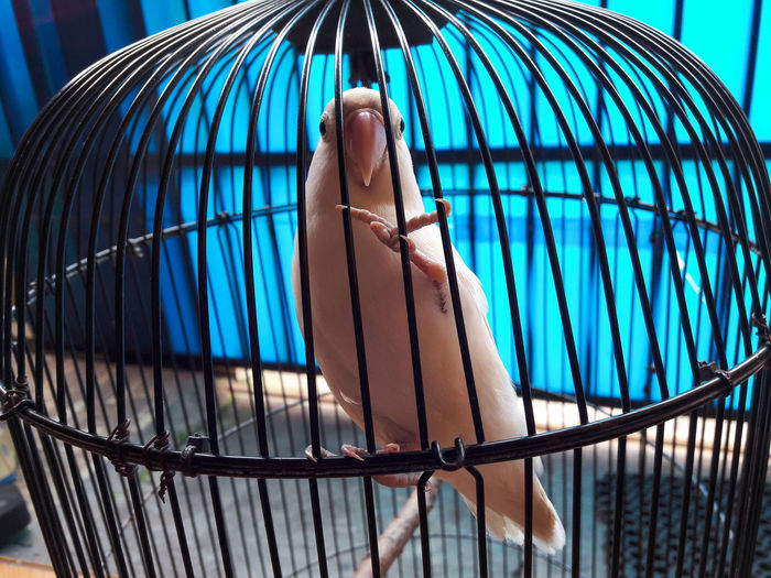 "A love in cage ""Love Bird"" EyeEmNewHere EyeEm Nature Lover Lovebird Lovebirds Bird Whitebird White Animal Solo,Indonesia Surakarta Bird Trapped Blue Cage Metal Close-up Sky Birdcage Parrot"