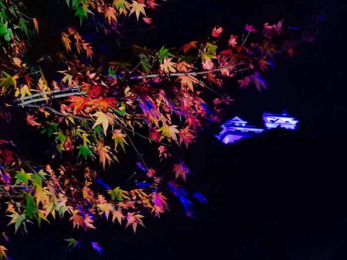 Matsuyama Castle Japanese Style Colored Leaves Autumn Autumn Collection Nature Nature_collection Gradation Lightup 松山城二の丸 紅葉 光の庭園 松山城天守閣 二の丸庭園から見上げる 松山城天守閣💕 山の上にあるので かなりデカイ😊