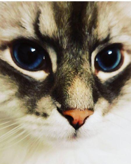 Pets MyBoy Mypet Nevamasquerade Blue Eyes Neva Masquerade Pets Portrait Human Eye Feline Looking At Camera Domestic Cat Kitten Iris - Eye Eyesight Eyeball Eye Color HEAD Ear Animal Eye Nose Eye Animal Ear Siamese Cat Tabby Cat Animal Hair