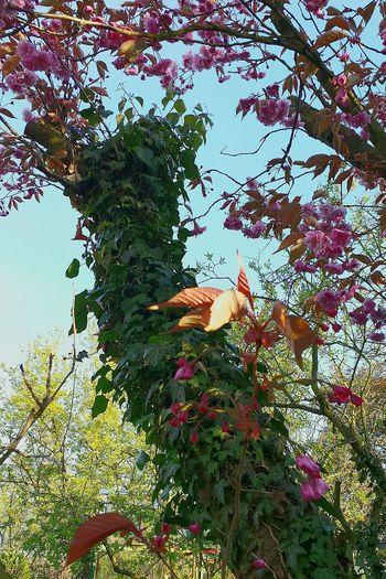Efeu Auf Stamm Efeu Bewachsener Stamm Blue Sky Japanische Kirschblüten Learn & Shoot: Leading Lines Beliebte Fotos Nature On Your Doorstep Nature's Diversities Ladyphotographerofthemonth Beautiful Nature Focus On Center
