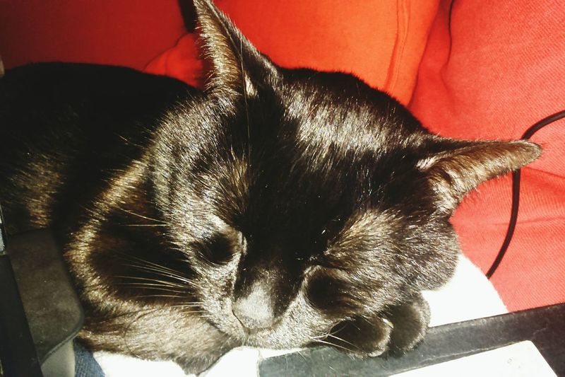 Mojito♡ BLackCat Cat♡ Catlovers Cuddle Sleeping Cat Sleep Sleeping Relaxing With My Mommy❤