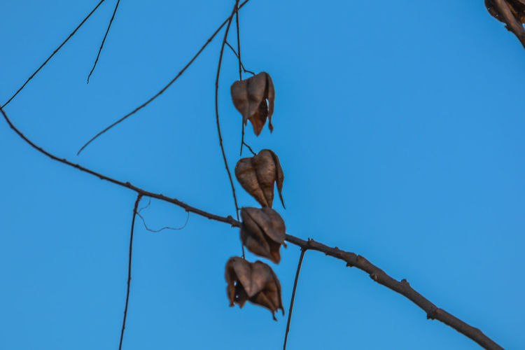 Low angle view of dried plant against clear blue sky