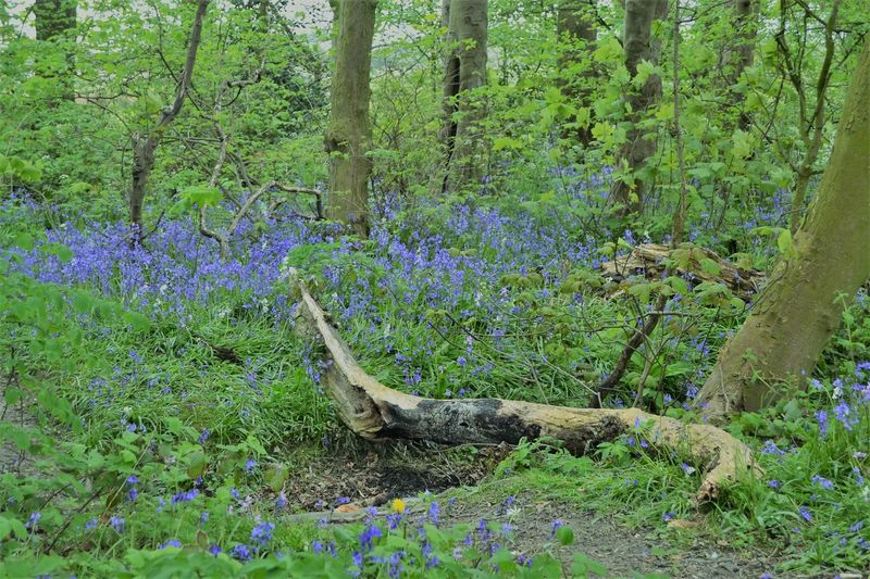 Nature's Beauty: A fallen tree and bluebells at Hackensall Woods, Knott End on Sea, Poulton le Fylde, Lancashire UK Beauty In Nature Blue Color Bluebells Day Flowers Forest Green Color Growth Nature No People Outdoors Plant Tree