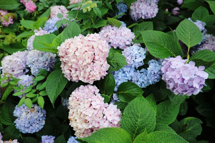 Close-up of hydrangeas blooming outdoors