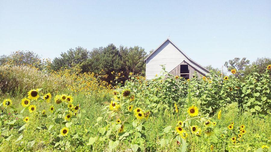 Barn Sunflowers South Dakota Farmlife