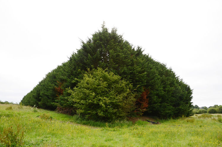 Conifers Field Grass Green Wall Hiding Something Outdoors Tree