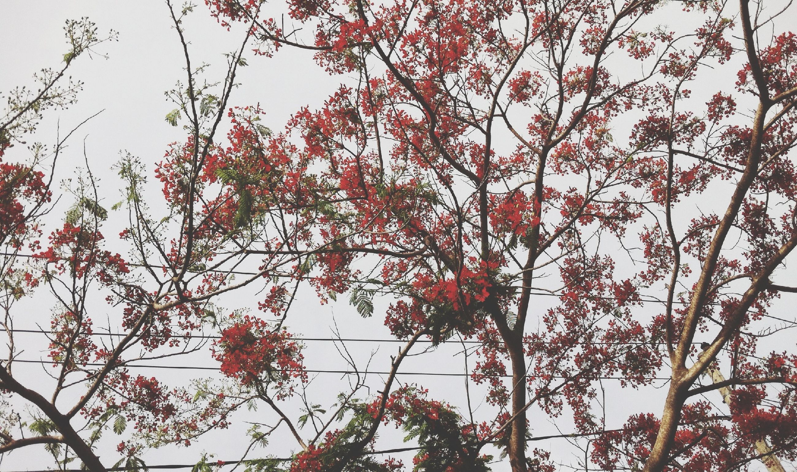 tree, branch, low angle view, growth, nature, beauty in nature, clear sky, leaf, red, sky, tranquility, freshness, flower, day, outdoors, no people, sunlight, autumn, scenics, season