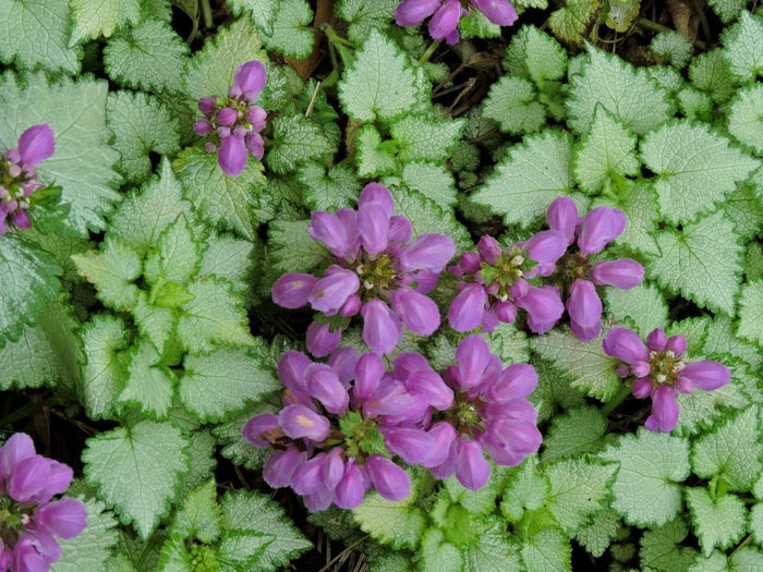 Purple And Green Flowering Plant Purple Flower Flower Flowering Plant Plant Pink Color Freshness Beauty In Nature Fragility Nature Close-up Vulnerability  Petal No People Flower Head Leaf Growth Inflorescence Green Color Plant Part Day High Angle View Purple Flower Arrangement Flowerbed Ornamental Garden