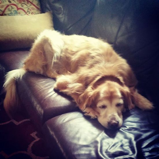 Miss Maisy my oldest golden retriever sleeping on the couch Goldenretriever 12yearsold MyGIRL Goldenretrieversofinstagram doggie sleepypuppy socute