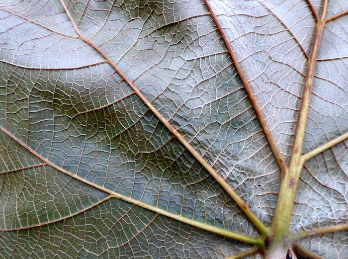 Arteries And Veins Beauty In Nature Biological Biology Biology Class Botanical Gardens Berlin Botanical Themes Close-up Leaf Leaf Veins Live For The Story Nature No People Plant Life Veins In A Leaf