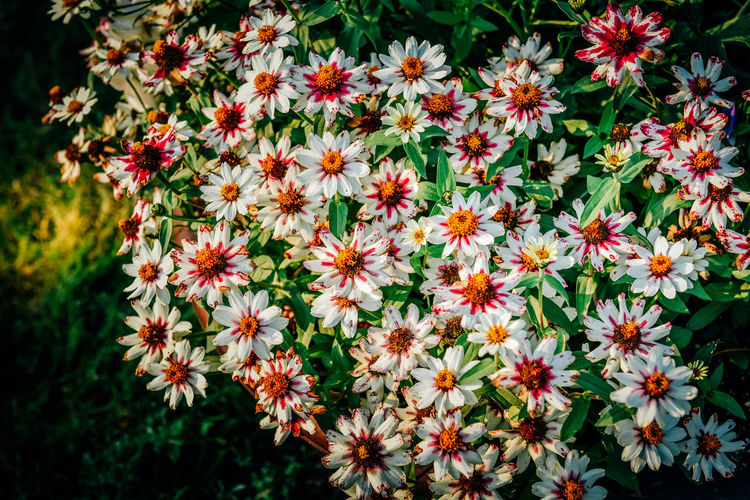 Beauty In Nature Blooming Close-up Day Flower Flower Head Fragility Freshness Growth Nature No People Osteospermum Outdoors Petal Plant