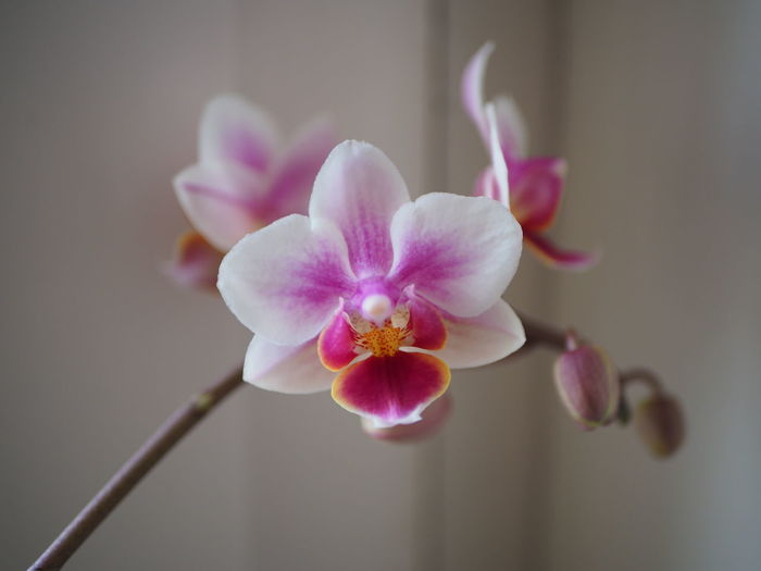Close-up of pink orchid