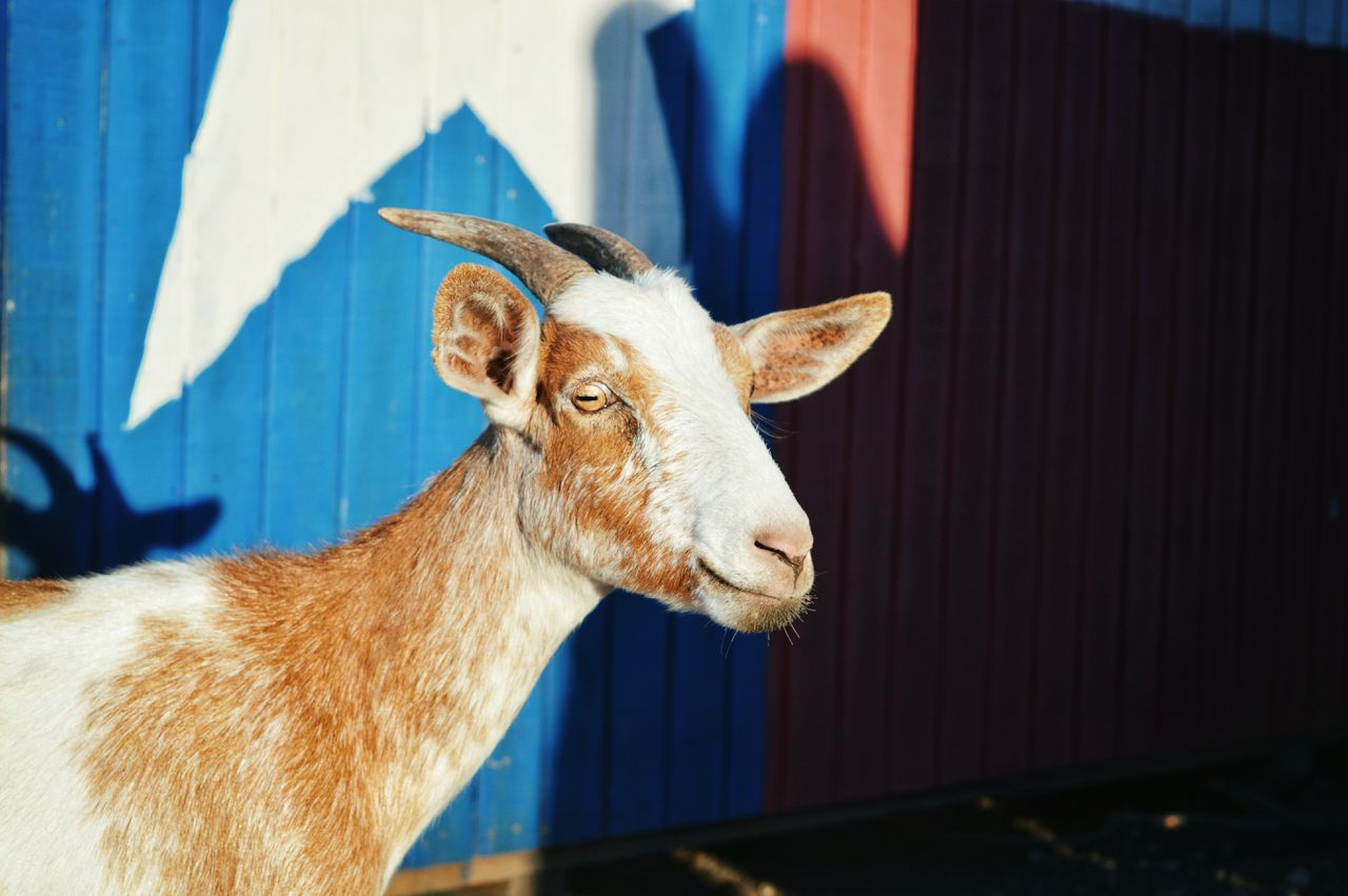 Close-up of goat during sunny day