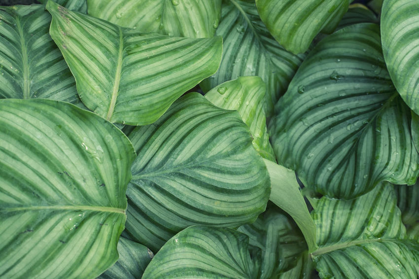 Calathea orbifolia Green Color Abundance Backgrounds Beauty In Nature Calathea Close-up Day Freshness Green Color Growth Heart Shape Large Group Of Objects Leaf Natural Pattern Nature No People Orbifolia Plant Plant Part Stripes Pattern Texture