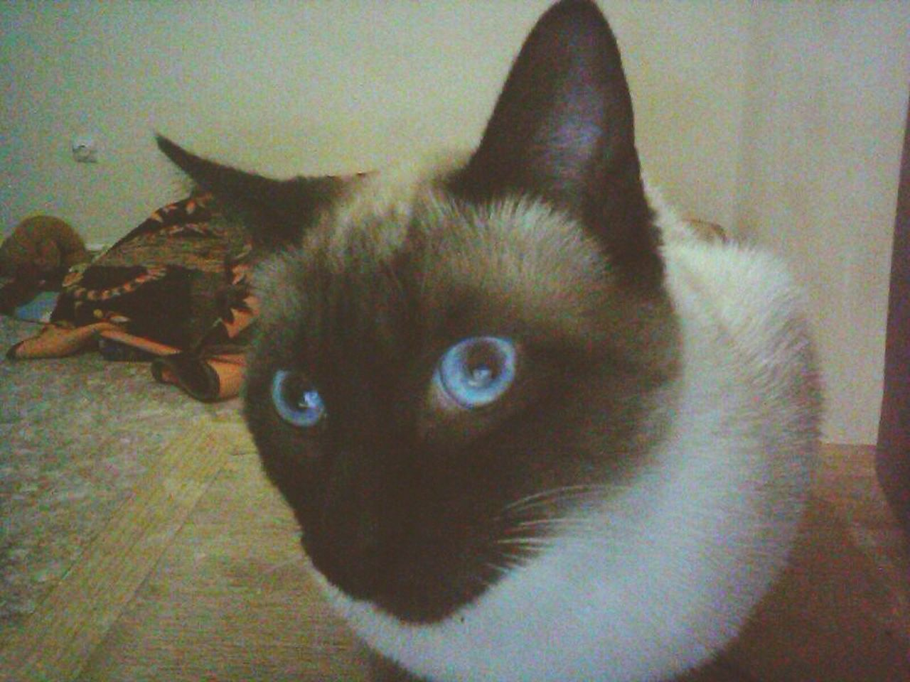 domestic cat, pets, domestic animals, animal themes, feline, cat, mammal, indoors, one animal, portrait, looking at camera, no people, siamese cat, close-up, day
