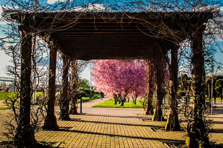 Beauty In Nature Check This Out Cherry Blossoms Day EyeEm Gallery Flower Fragility Framed Full Colour Growth Nature No People Outdoors Sky Spring Springtime Tree Tunnel Tunnel Vision Wood Structure Millennial Pink Malephotographerofthemonth The Secret Spaces