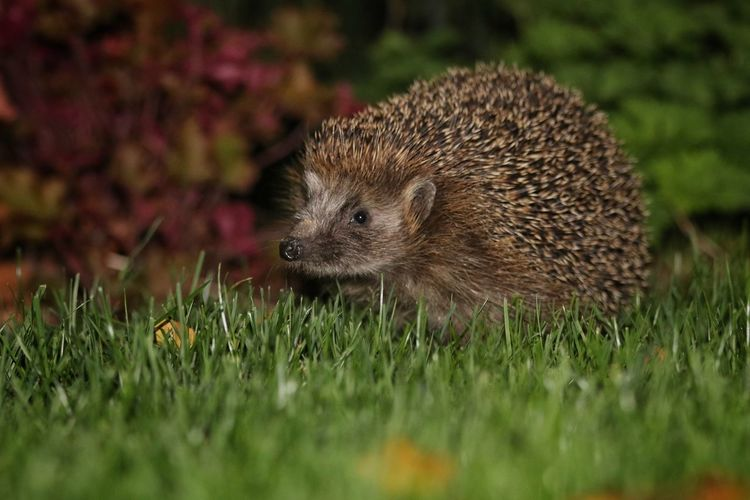 """The Hedgehog"" https://m.facebook.com/mh.photography.de/ Animal Themes Igel Hedgehog Animals Tiere Wildlife & Nature Nature Wildlife Animals In The Wild Close-up Beauty In Nature Selective Focus Michael Hruschka Night Animals In The Wild Animal Photography Mammal One Animal Nacht EyeEm Nature Lover Animal_collection Wildlife Photography Natur Nature_collection Naturelovers"