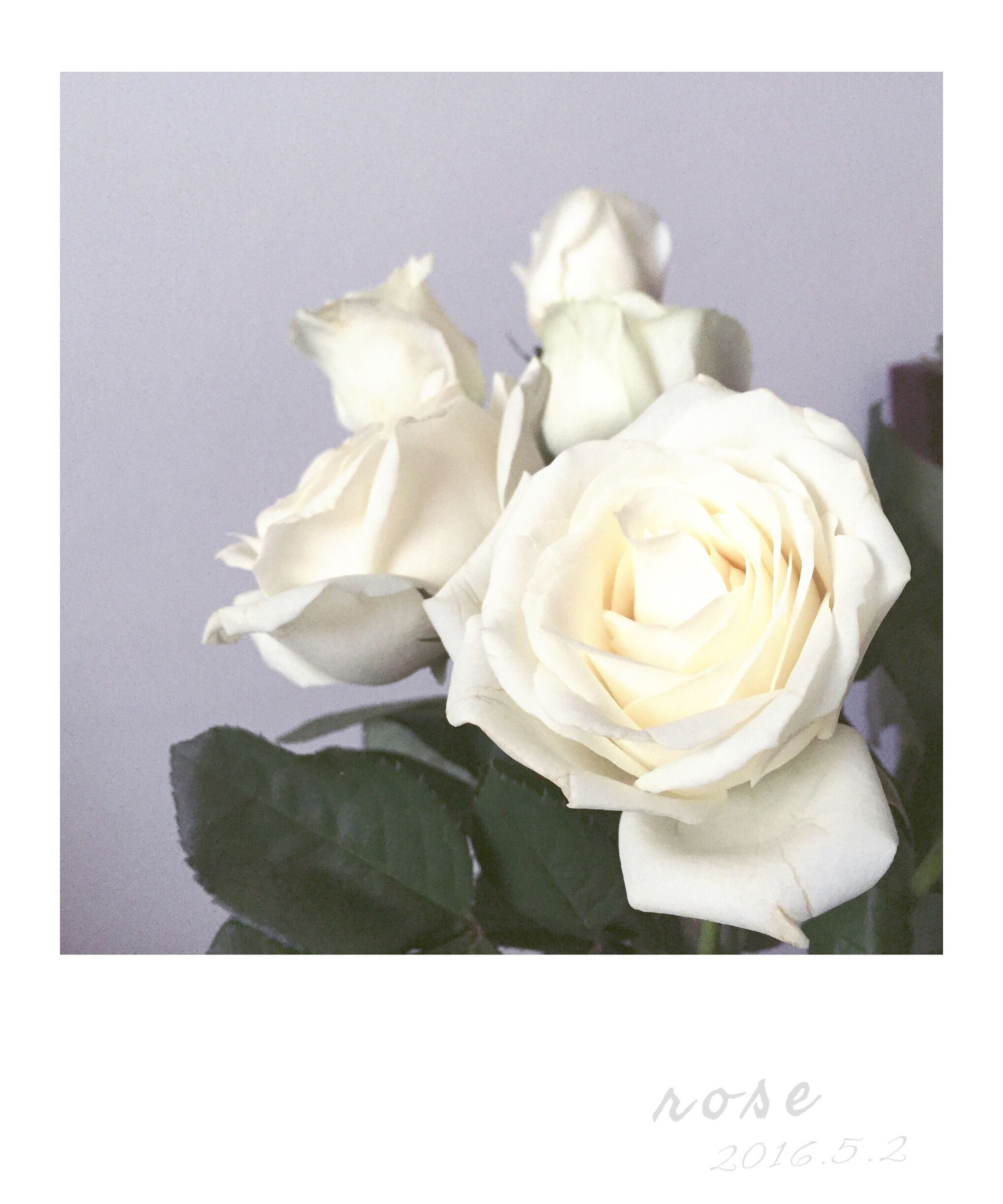 transfer print, auto post production filter, close-up, flower, indoors, studio shot, high angle view, rose - flower, petal, freshness, fragility, white color, flower head, no people, still life, nature, day, rose, white background, focus on foreground