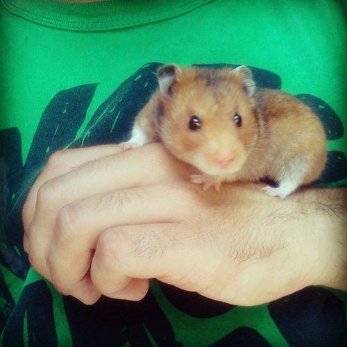 Jugando con Hashi Hashi Hamster Play Instaanimal