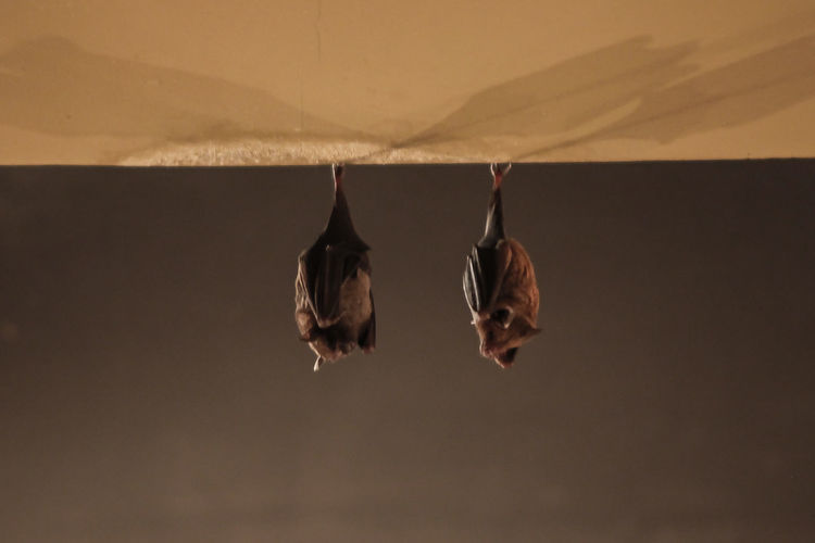 two bats sleeping Bat Bats Bat Sleeping Up Side Down Together Togetherness Animal Animals Brown