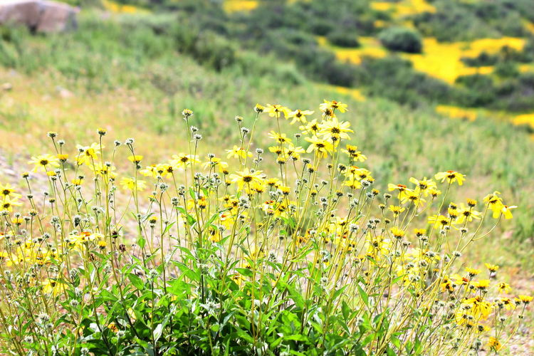 Flower Plant Flowering Plant Yellow Growth Beauty In Nature Freshness Field Fragility Green Color Nature Vulnerability  Land Focus On Foreground Day No People Grass Flower Head Selective Focus Petal Outdoors Springtime Flowerbed Softness