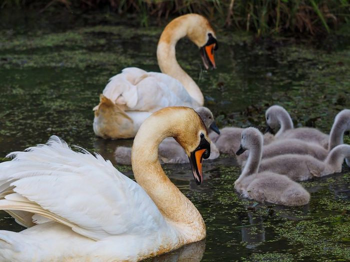 Swan family Swan Animal Themes Animal Water Swan Bird Animals In The Wild Group Of Animals Young Animal Young Bird Nature