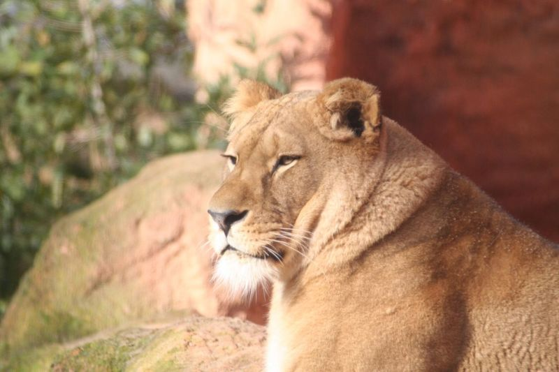 Close-up of lion resting at hanover zoo