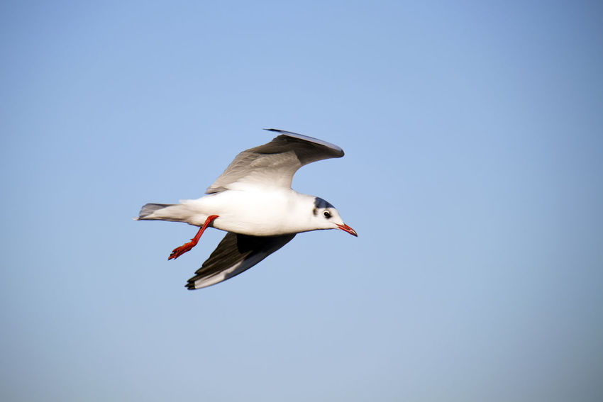 Bird Vertebrate Animals In The Wild Animal Themes Animal Wildlife Animal One Animal Flying Sky Spread Wings Low Angle View Mid-air Clear Sky Copy Space No People Blue Day Motion Nature Beauty In Nature Seagull