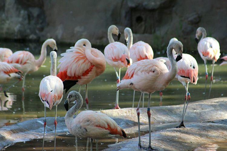 Flamingos by pond