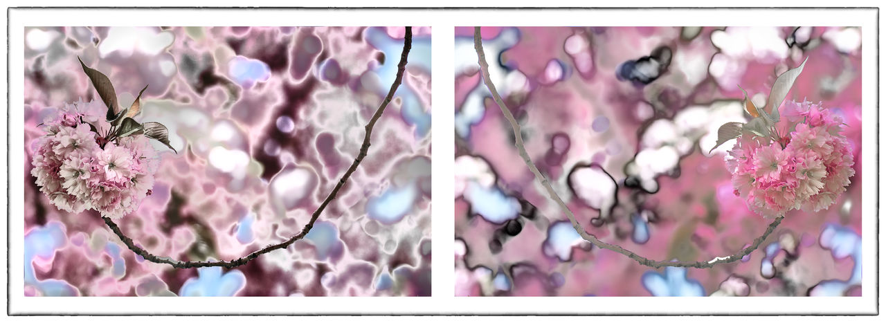 Cherry Blossoms Cherry Tree Diptych Flowers Diptychs Flower Flowers Pink Solarized Flowers Soloarzation