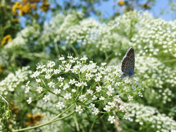 Flower Butterfly Polyommatus Bellargus Lysandra Bellargus Голубянка
