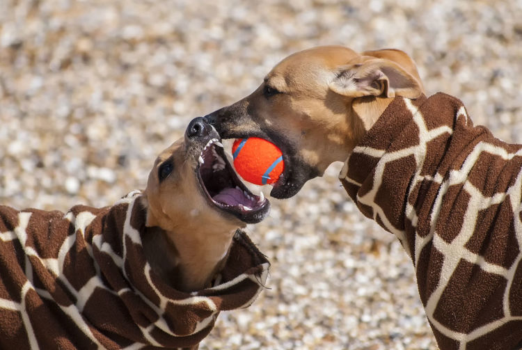 Close-up of dogs playing