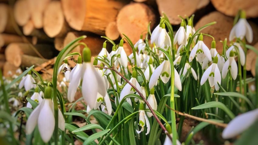 Beauty In Nature Close-up Day Flower Flower Head Fragility Freshness Growth Nature No People Outdoors Petal Plant Snowdrop White Color