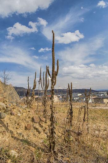 Cactus plants on landscape against sky