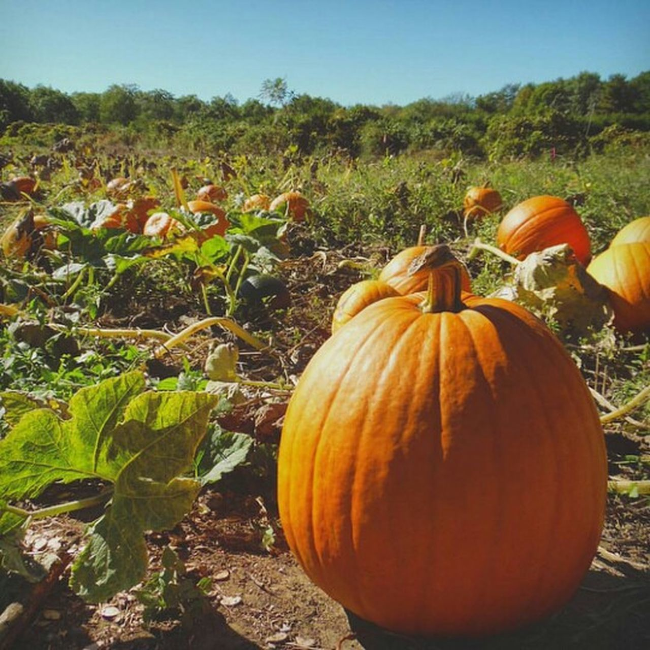 pumpkin, field, growth, plant, nature, no people, agriculture, outdoors, day, beauty in nature, halloween, landscape, freshness, food, sky, tree, close-up