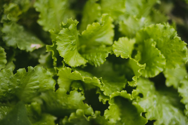 Backgrounds Beauty In Nature Close-up Food Food And Drink Freshness Full Frame Green Color Growth Healthy Eating Leaf Lettuce Nature No People Plant Plant Part Selective Focus Still Life Vegetable Vegetarian Food Wellbeing