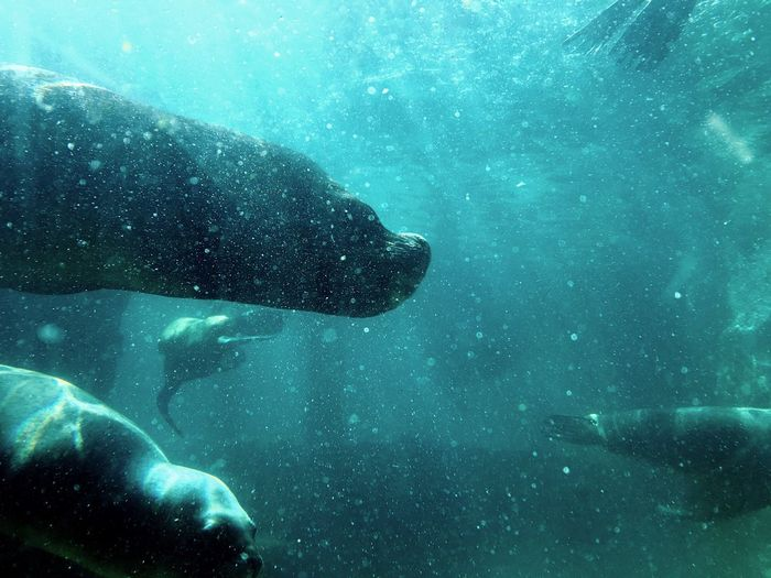 Side view of sea lion underwater