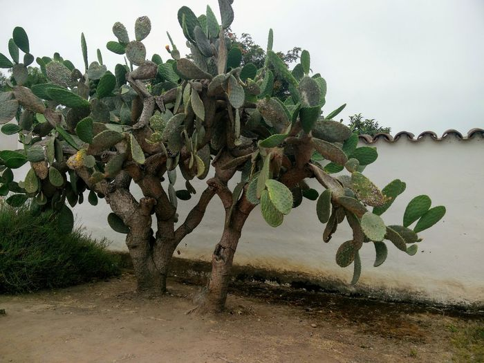 Tree Plant Growth Outdoors Cactus Tree Old Town San Diego Taking Photos Nature