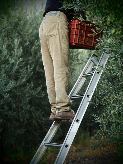 Agriculture Farm Life Hard Work Ladder Olive Tree Worker Adult Day Green Olive Halkidiki Human Body Part Low Section One Man Only One Person Only Men Outdoors People