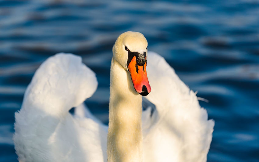 Close-up of swan floating in water