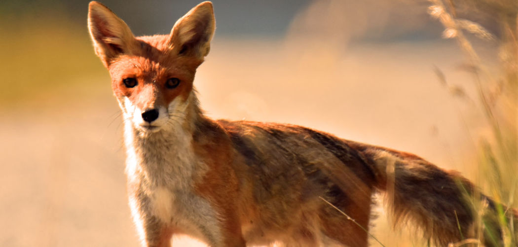 Fuchs Animal Wildlife Animals In The Wild Day Domestic Animals Focus On Foreground Fox Herbivorous Looking At Camera Mammal Nature No People One Animal Outdoors Portrait Standing Vertebrate Young Animal