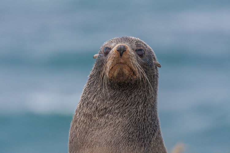 Close-up portrait of seal