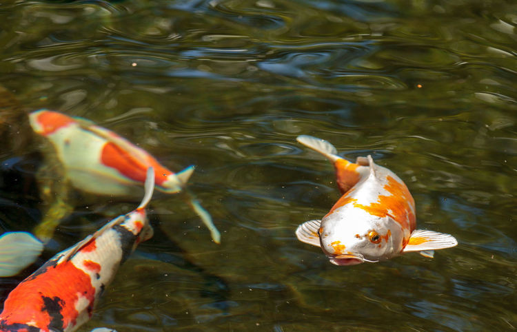 Koi fish, Cyprinus carpio haematopterus, eating in a koi pond in Japan Animal Themes Carp Close-up Colorful Fish Colorful Koi Fish Cyprinus Carpio Cyprinus Carpio Haematopterus Day Koi Fish Nature No People Pond Sea Life Swimming Swimming Tranquility Water