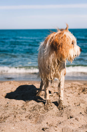 Lion lying on the beach