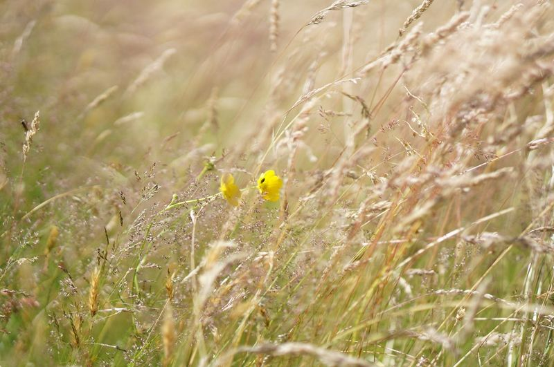 Yellow flowers growing amidst grass on field